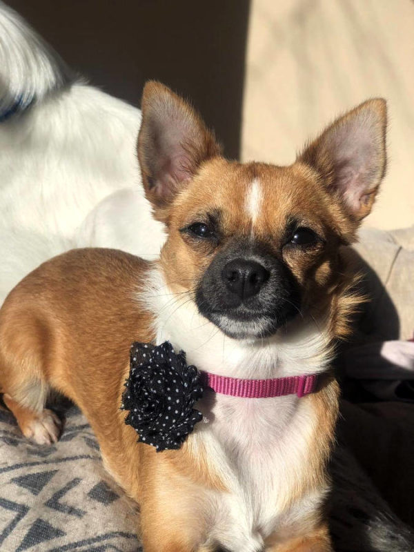 Black with White Spots Flower Attachment on Chihuahua | Dimples Sew Happy
