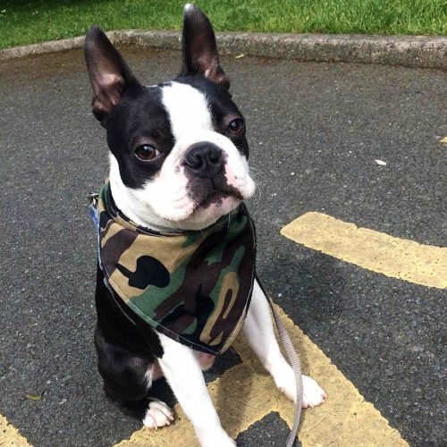 Camouflage Dog Bandana gift Boston Terrier | Dimples Sew Happy
