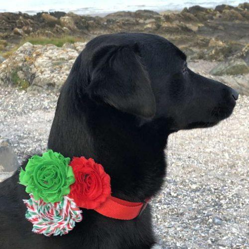 Christmas Flower Dog Collar
